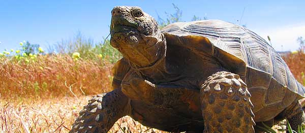 Desert tortoise at the Springs Preserve habitat