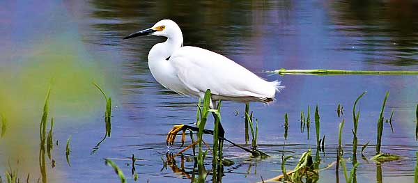 Wild egret at the Springs Preserve desert wetland