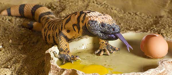 Gila monster feeding at the Springs Preserve live animal exhibit