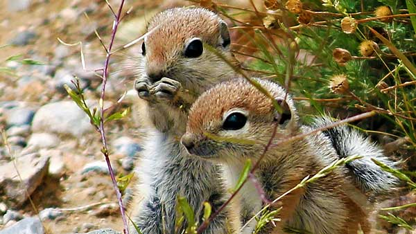 Antelope Ground Squirrel Babies
